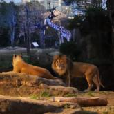 天王寺動物園で「ナイトZOO」